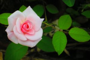 petals rose flower day nature beautiful plant green