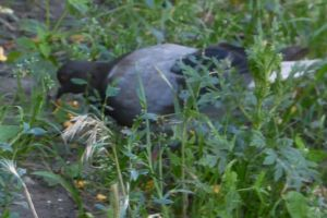 pigeon daylight close-up looking eating grass animal food