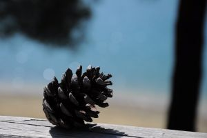 pine tree cone pine images pine cone