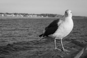 plage gull oiseau venice beach goã©land regard californiã« seagull