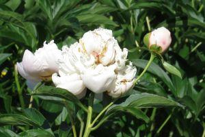 plants garden flowers daylight buds white