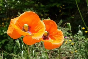 poppy daylight orange blossom flowers garden plants bloom