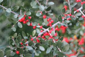 red and green green nature berries evergreen color plant pop of color holly holiday