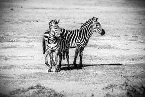 reserve animals landscape wild mammal zebras stripes grass herbivore daytime