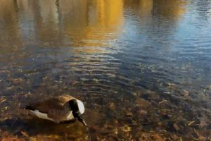 ripple water goose clear reflection animals daytime