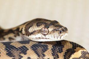 scales animal snake python