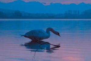 scenic plumage swan twig ripple animal water nature reflection