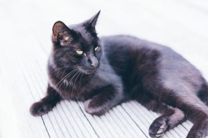 sit young domestic cat animal whisker cute black cat fur tabby kitty