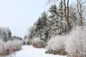 snow bushes winter forest path