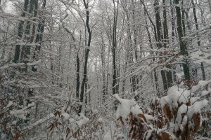 snow on trees trees snow winter