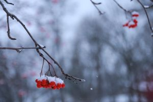 snow wild winter red red fruits