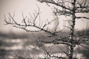 spruce summer tree