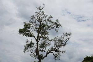 sri lanka tree nature