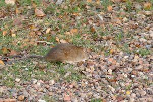 stones rat rocks rodent