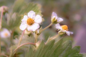 summer flower bud strawberry