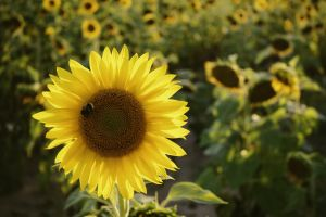 sunflowers petals field close-up desktop backgrounds hd wallpaper mac wallpaper bee free wallpaper blossom