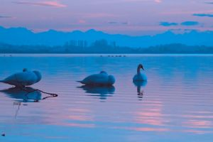 swans dawn nature water