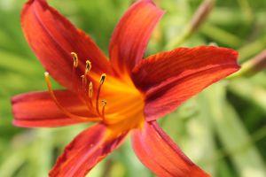 tiger lily flower orange flower