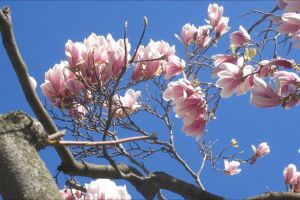 tree flora flowers blossom branches windy bloom
