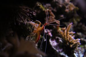 tropical cleaning shrimp saltwater fish