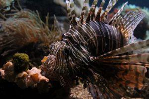 tropical fish saltwater lion