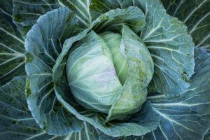 vegetable fresh vegetable fresh garden green cabbage