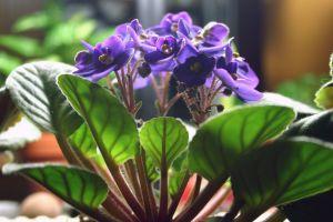 violet stems purple african violets peaceful flower purple flower