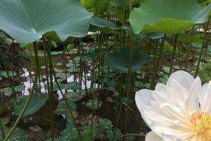 vitoria regia rio de janeiro brazil flowers botanic garden