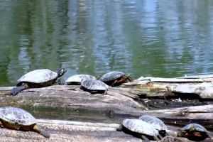 water turtles daylight log animals reptiles nature