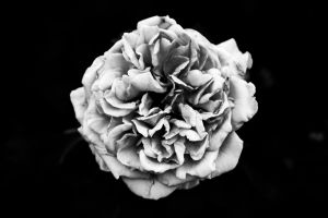 white and valentines day valentine's day rose love roses outdoor contrast nature