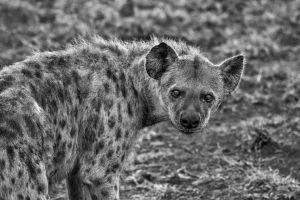 wild animal scavenger animal safari