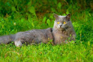 wild british turkey cute cat