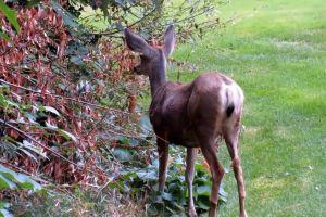 wildlife deer nature animal grass eating plants