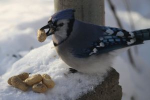 winter blue jay nature photography