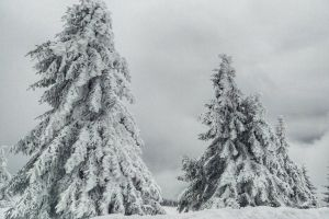 winter coniferous trees pine gloomy fir snowy cold spruce conifers snow