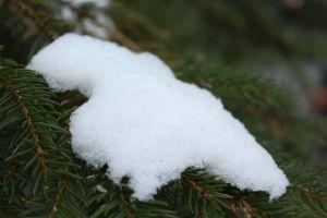winter pine tree snow