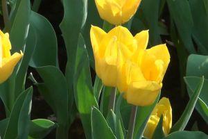 yellow tulips plants flowers field