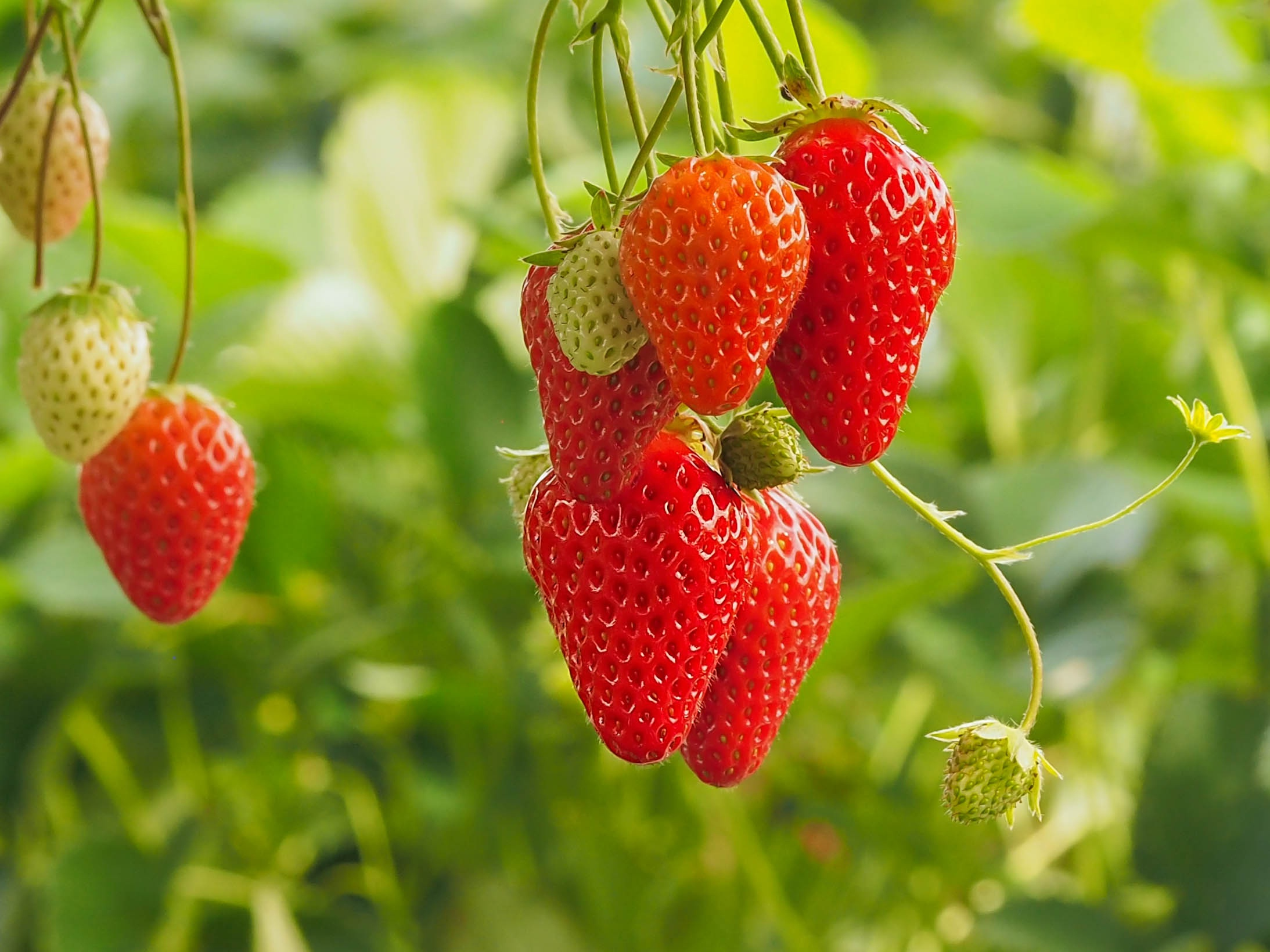 food plants leaves strawberries fruit