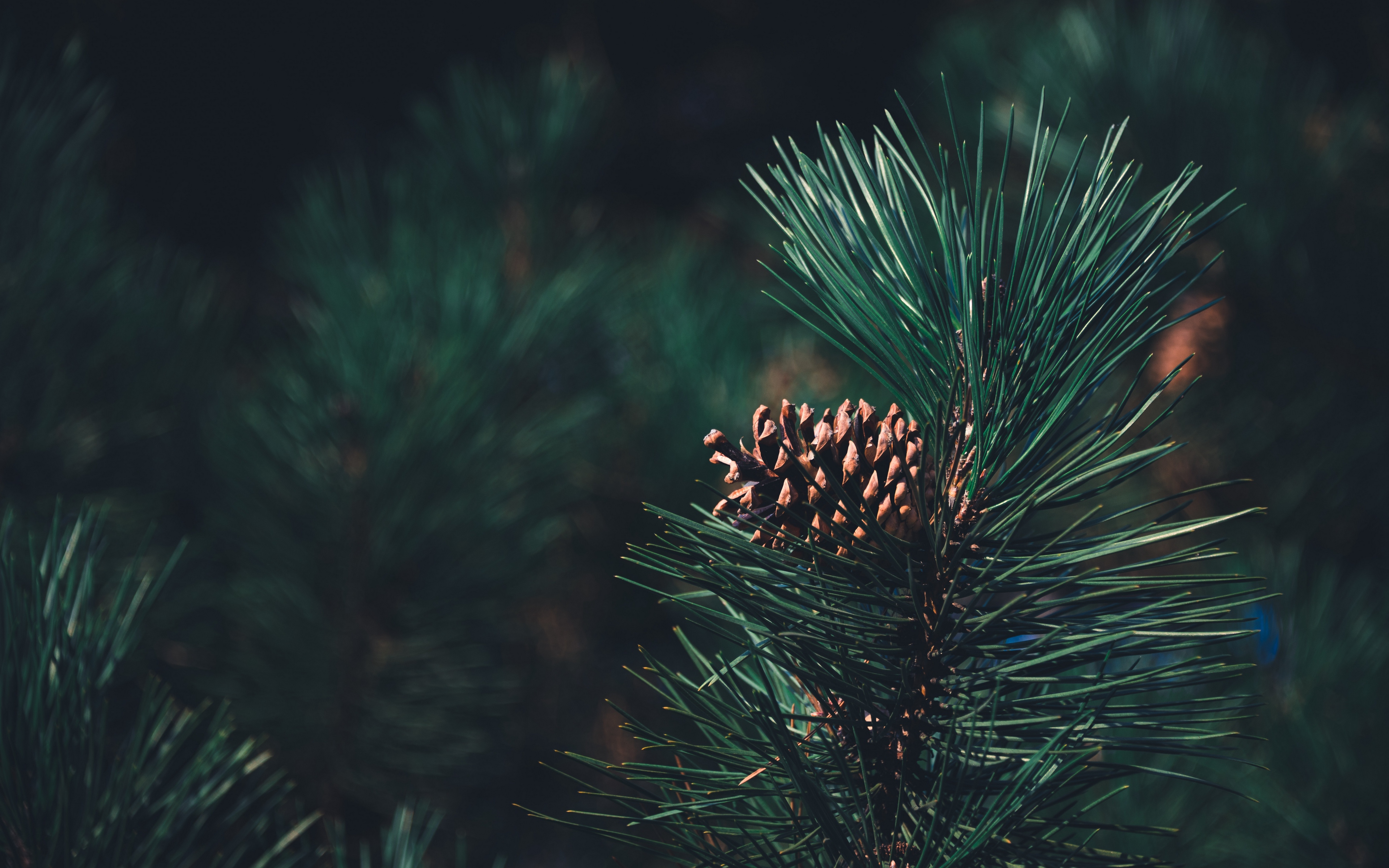 pine trees green photography nature plants pine cones