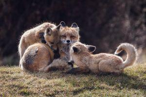 animals fox mammals