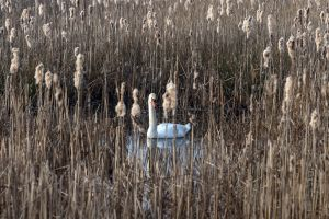 animals reeds swan birds nature