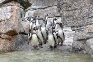 birds penguins penguin animals