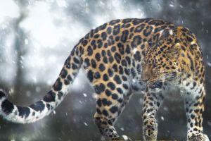 cats big cats animals leopard (animal) mammals