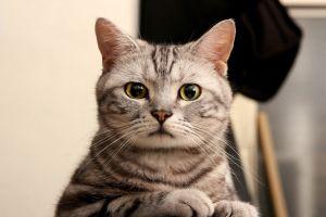 cats feline closeup