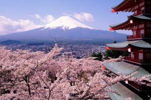cherry blossom mount fuji japan