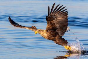 eagle bald eagle water splash water depth of field nature reflection
