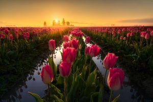 field sun agro (plants) tulips flowers plants