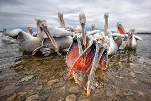 fish animals pelicans birds