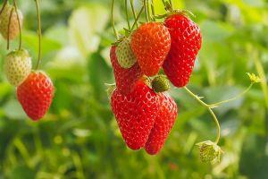 food plants leaves strawberries fruit