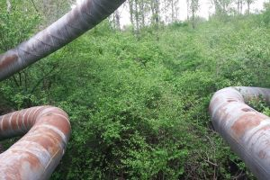 forest pipe plants